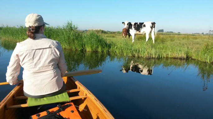 Dairy cattle watching us paddle