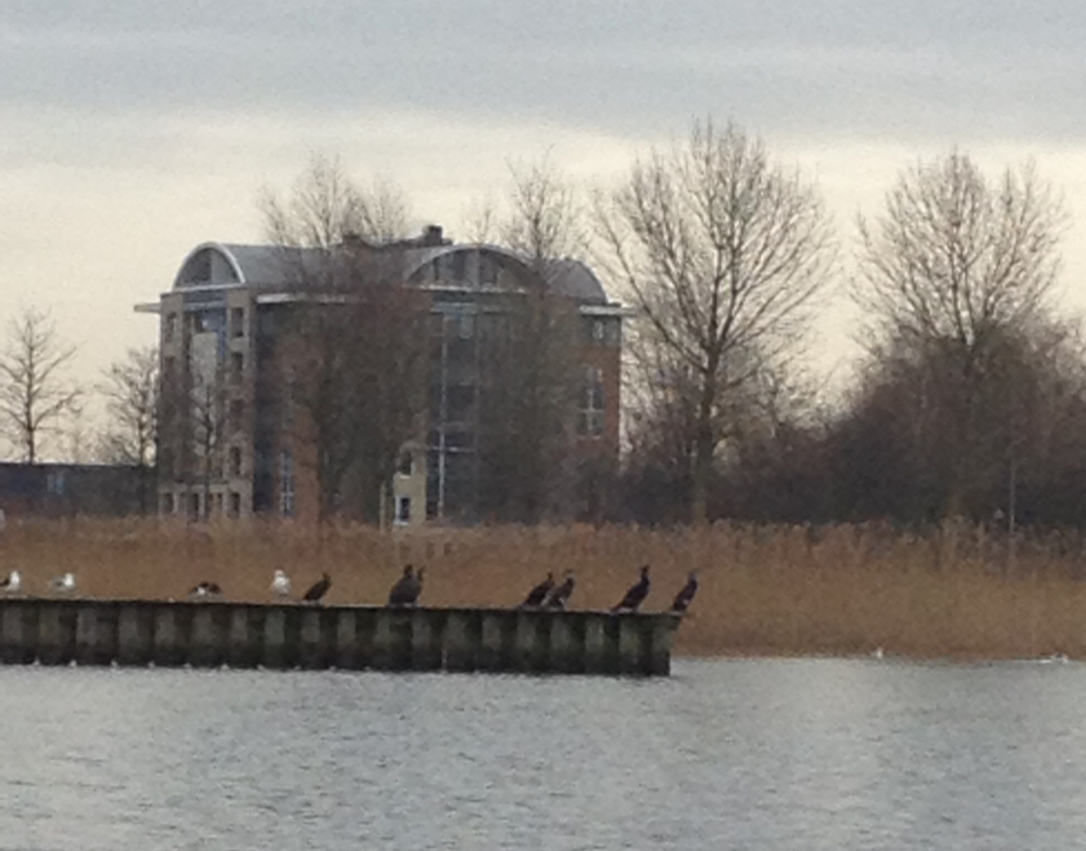 cormorants fishing at Toolenburgerplas