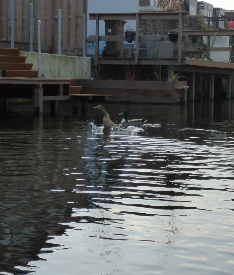 ducks in Hillegom