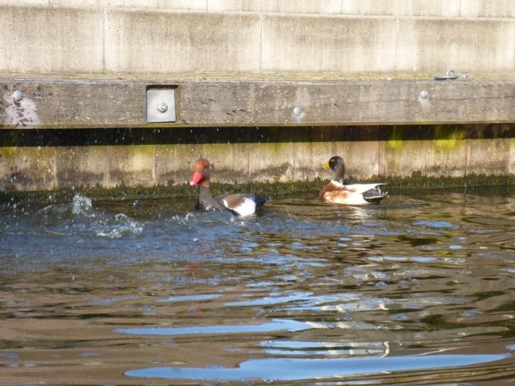 more ducks in Hillegom