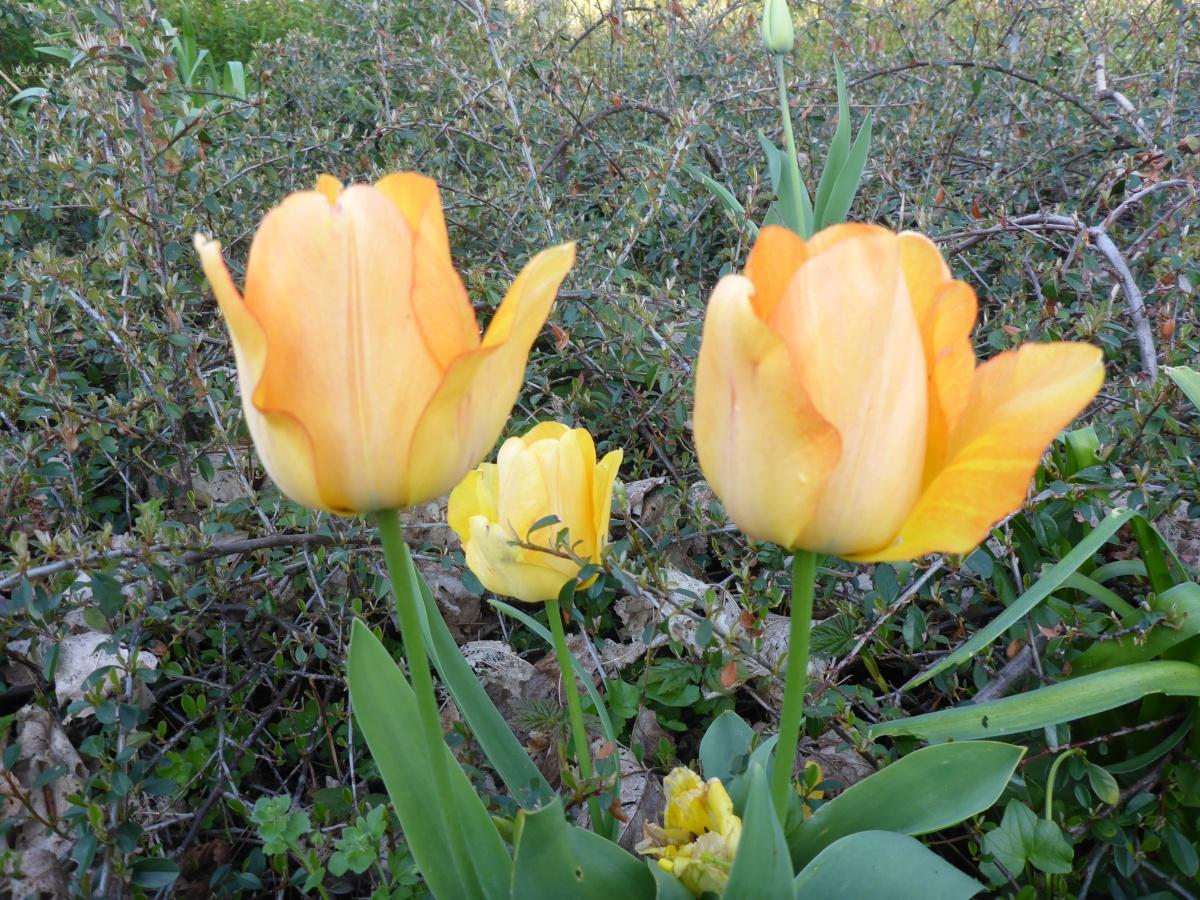 Tulips on city property