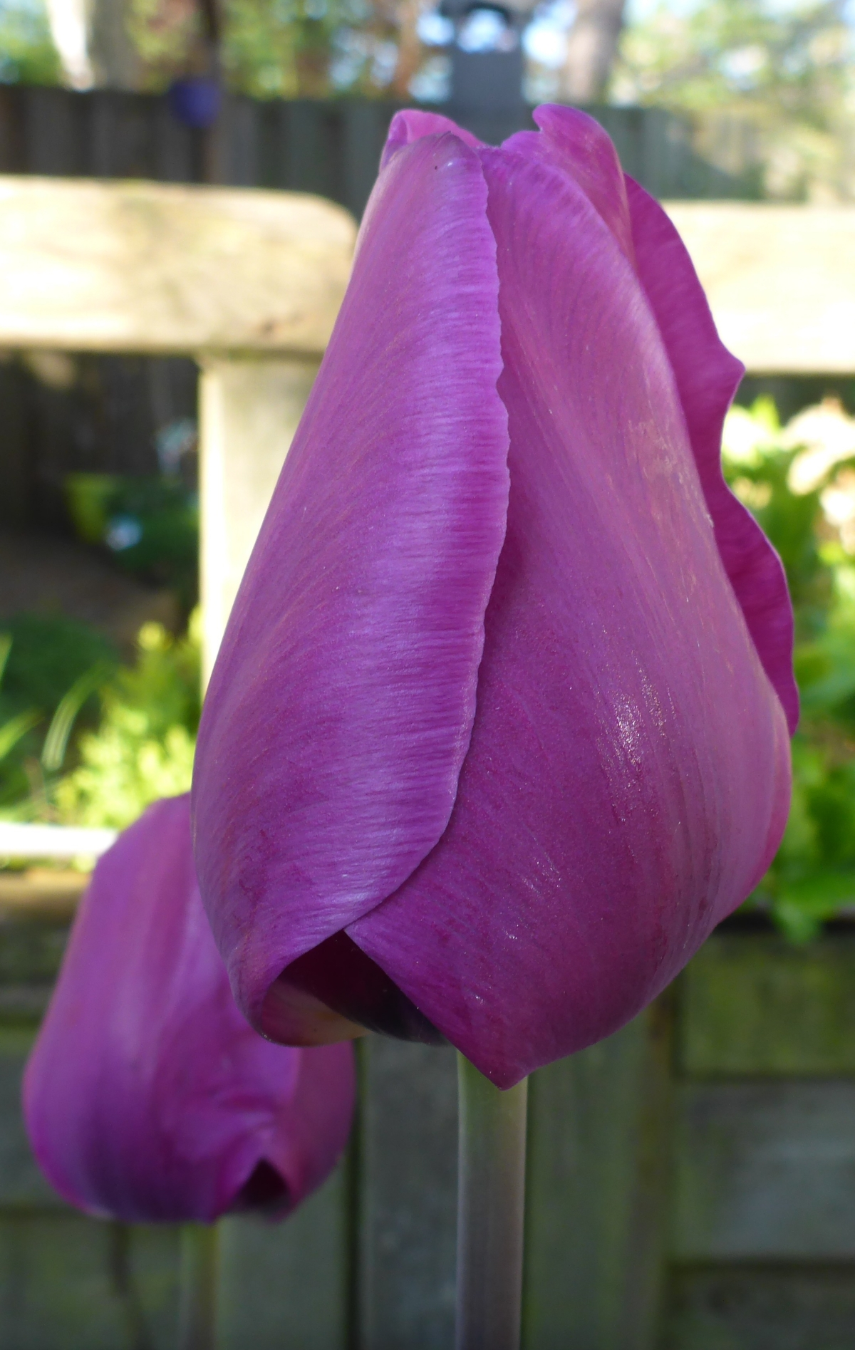 Purple tulip Negrita