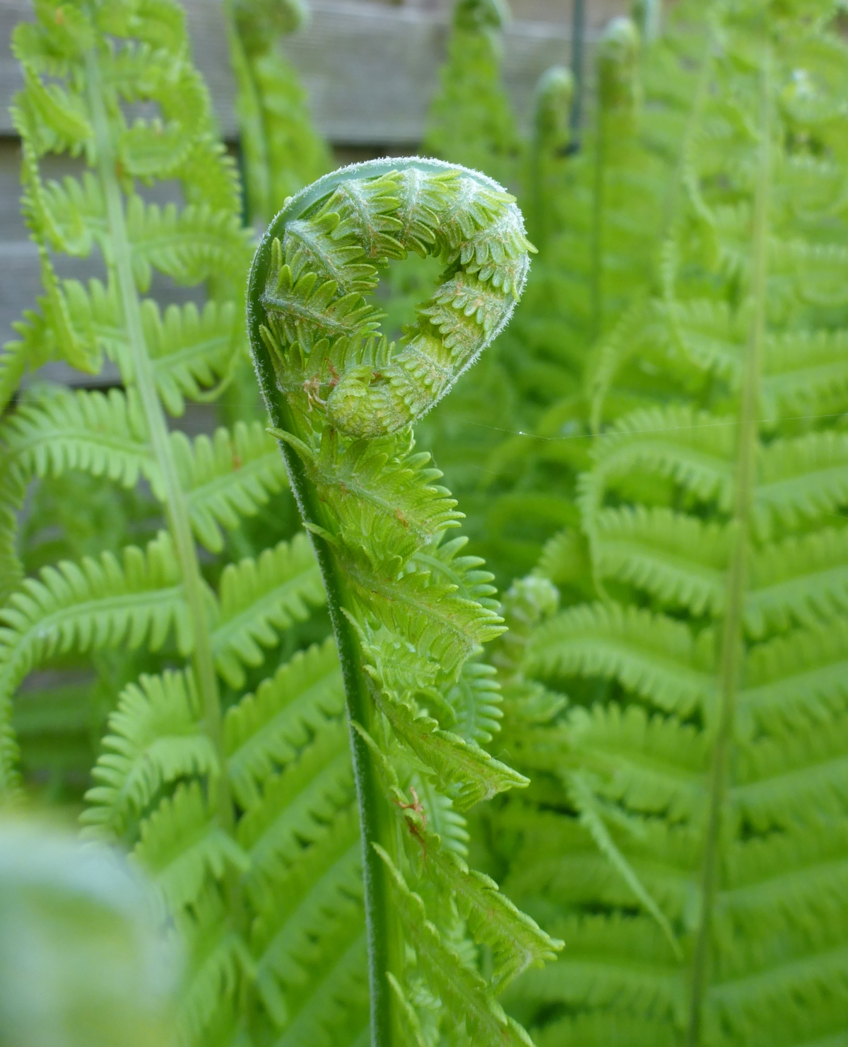 Fern Fiddle Head
