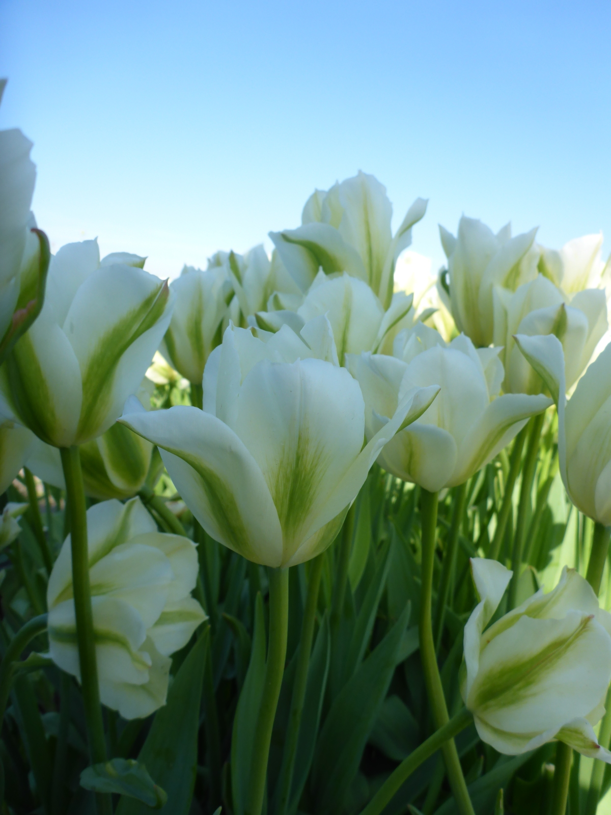 Tulips White and Green