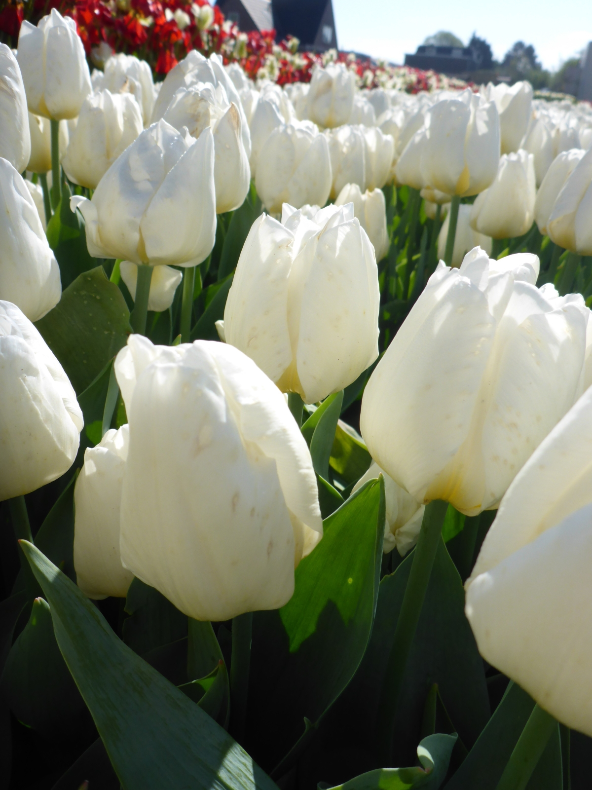 All White Tulips