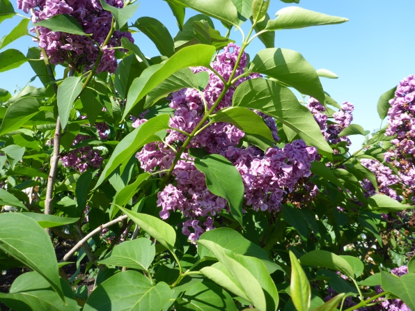 Purple Lilac at Historische Tuin