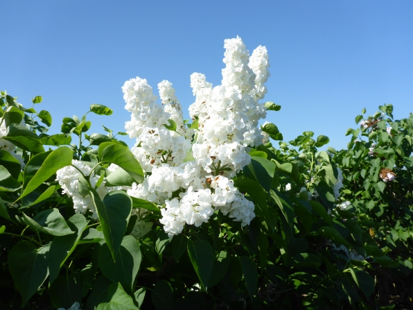 White lilac at Historische Tuin