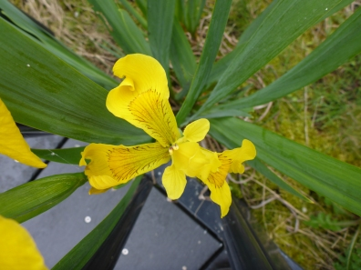 swamp iris