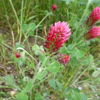 clover bloom