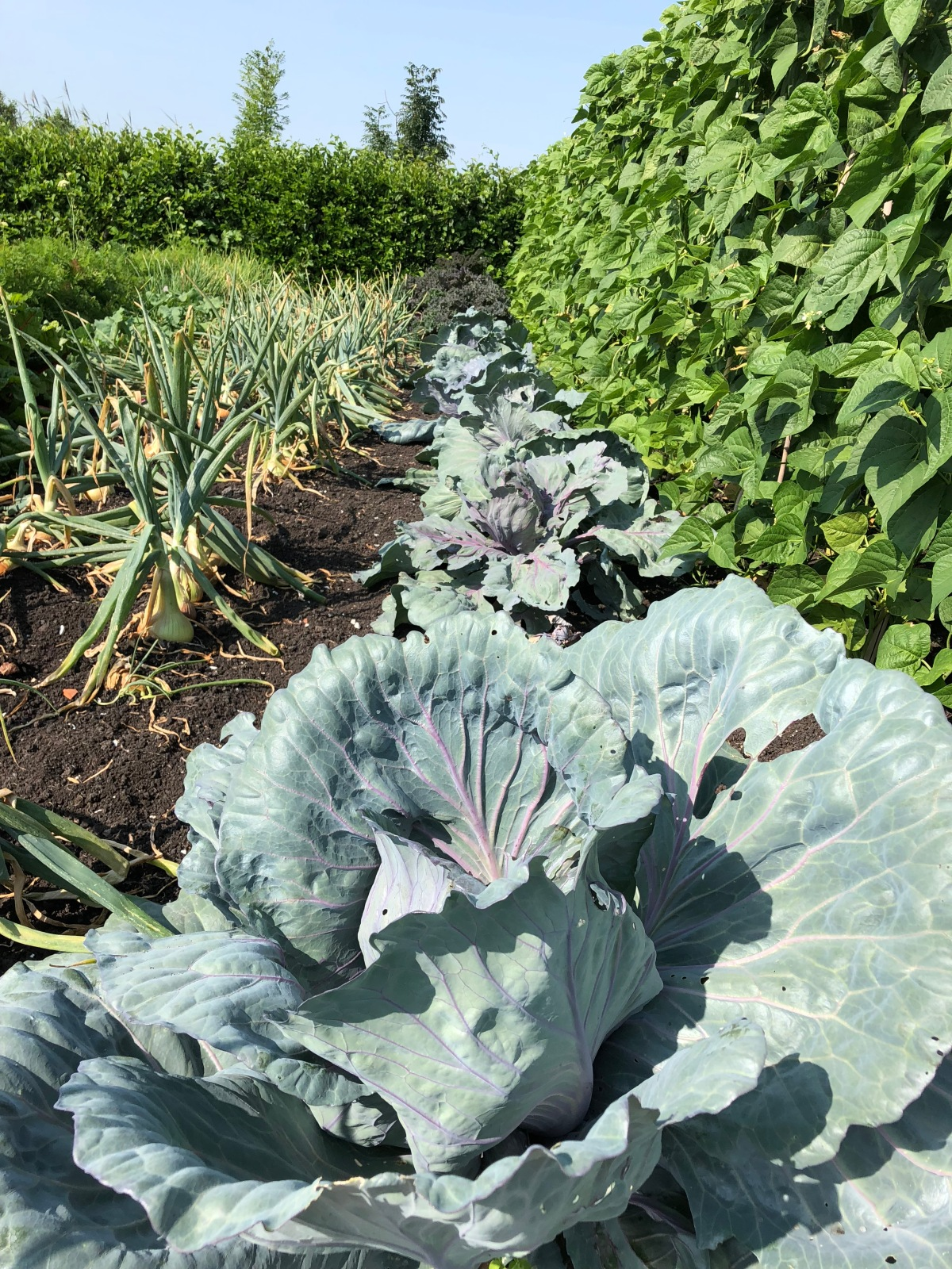 Cabbage and onions at Historische Tuin