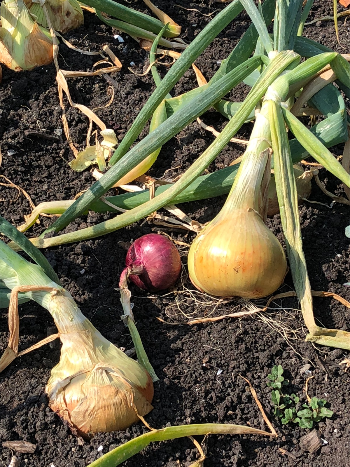 onions in the hot Dutch sun