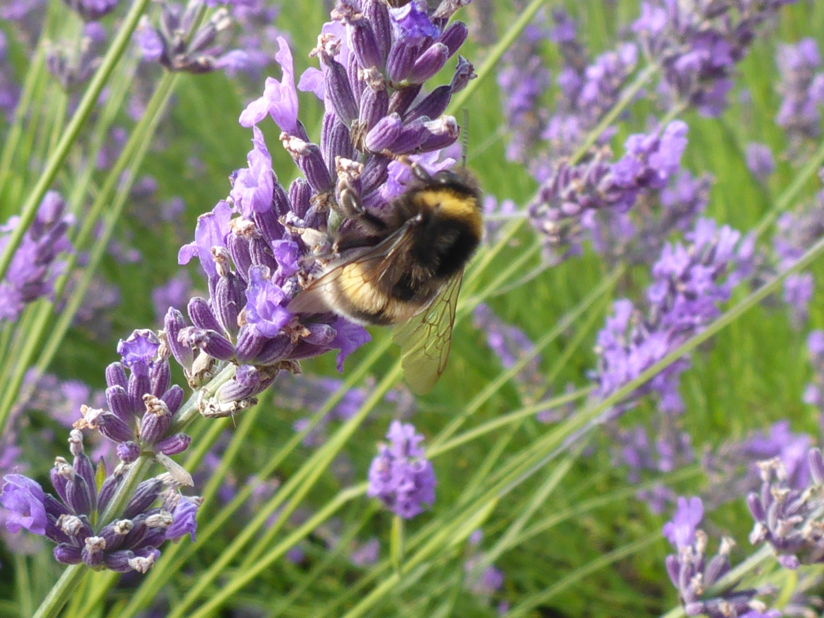 A Busy Bee on Lavender at Lady Lavendel