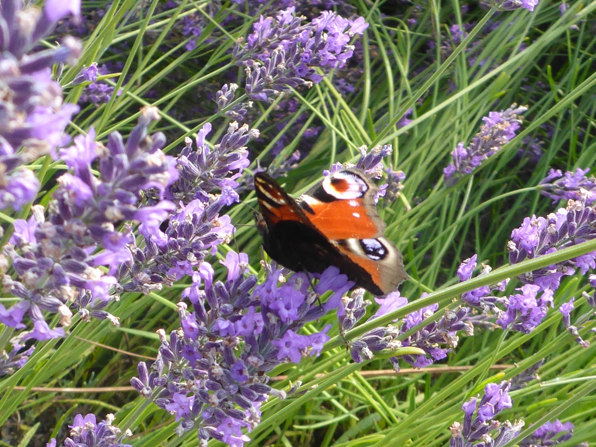A Butterfly at Lady Lavendel