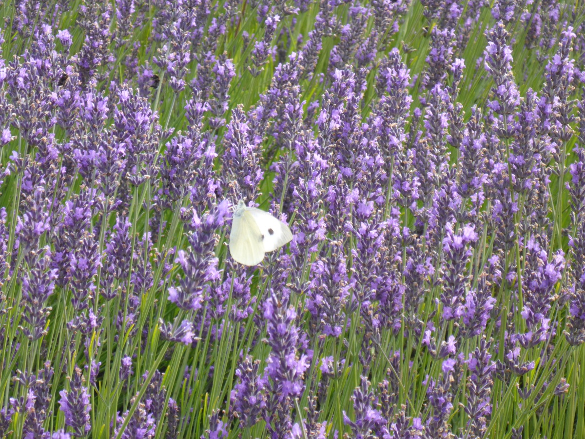 A White Butterfly at Lady Lavendel
