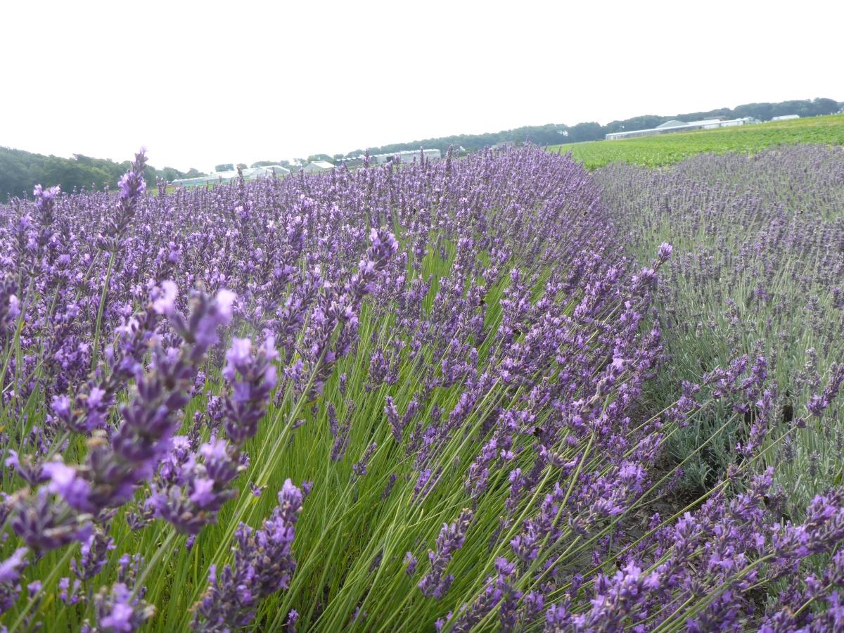 Lavender Fields Lady Lavendel
