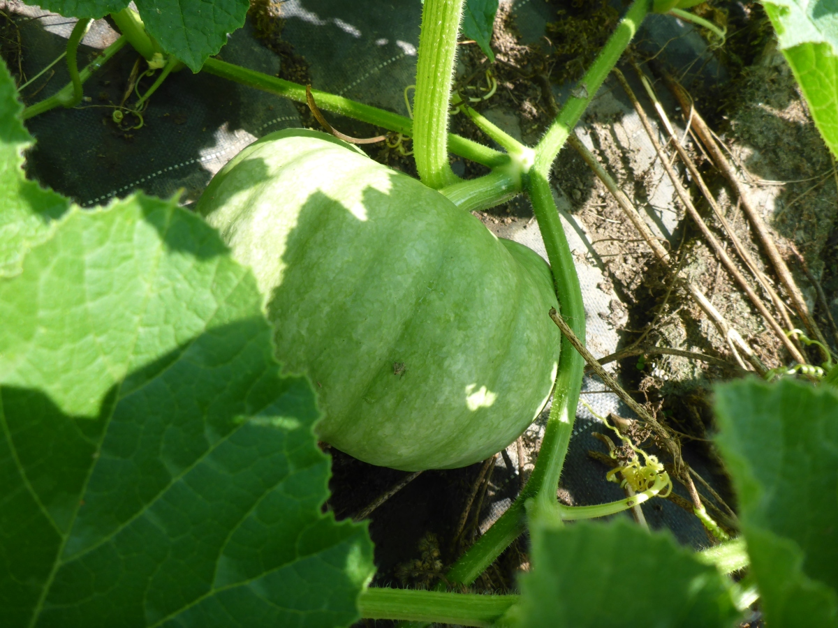 A pumkin on the vine