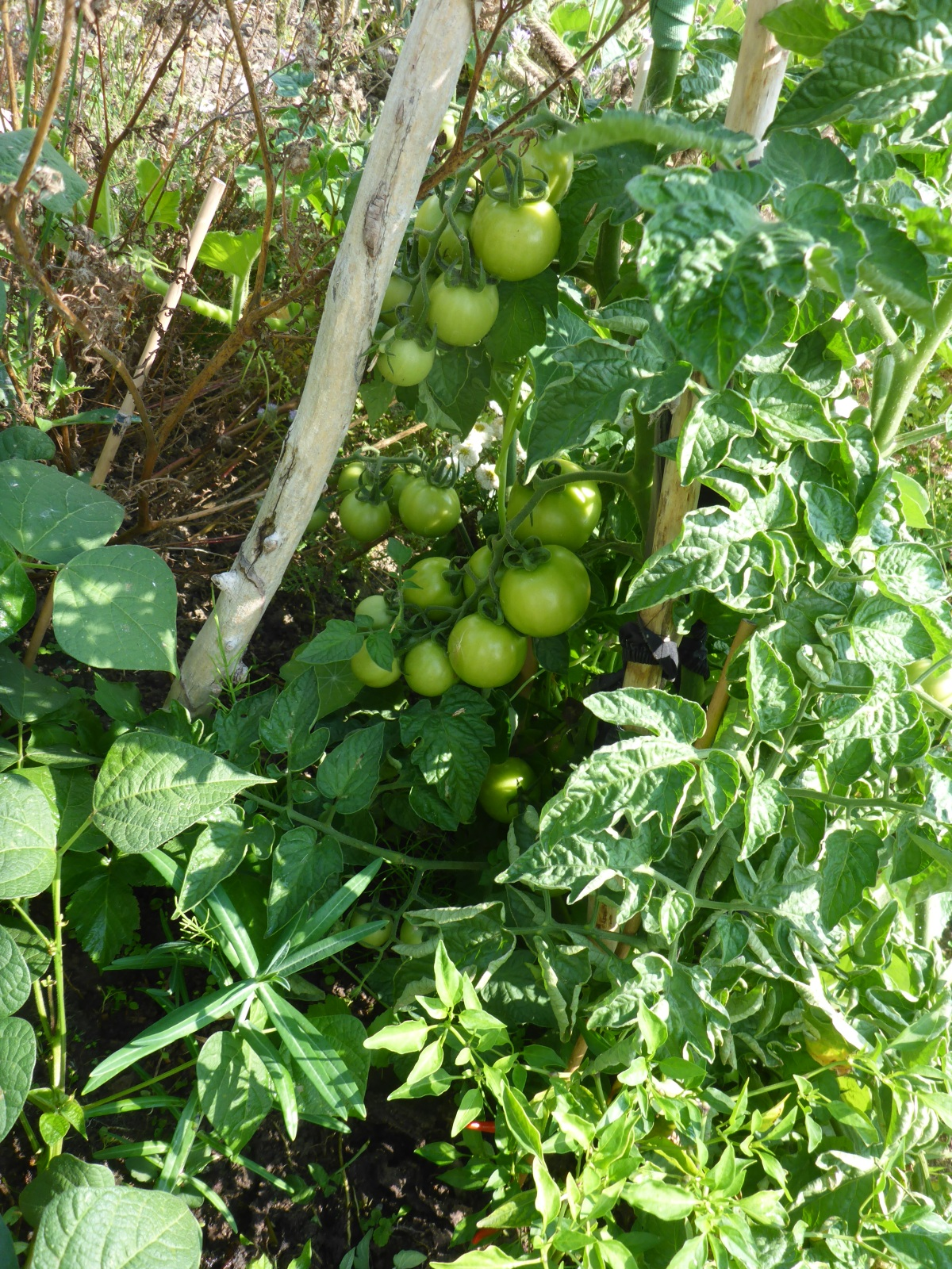 Tomatoes in hiding