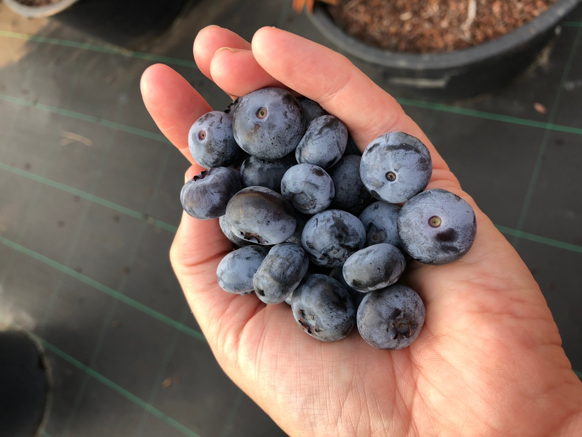A Handful of Beautiful Blueberries