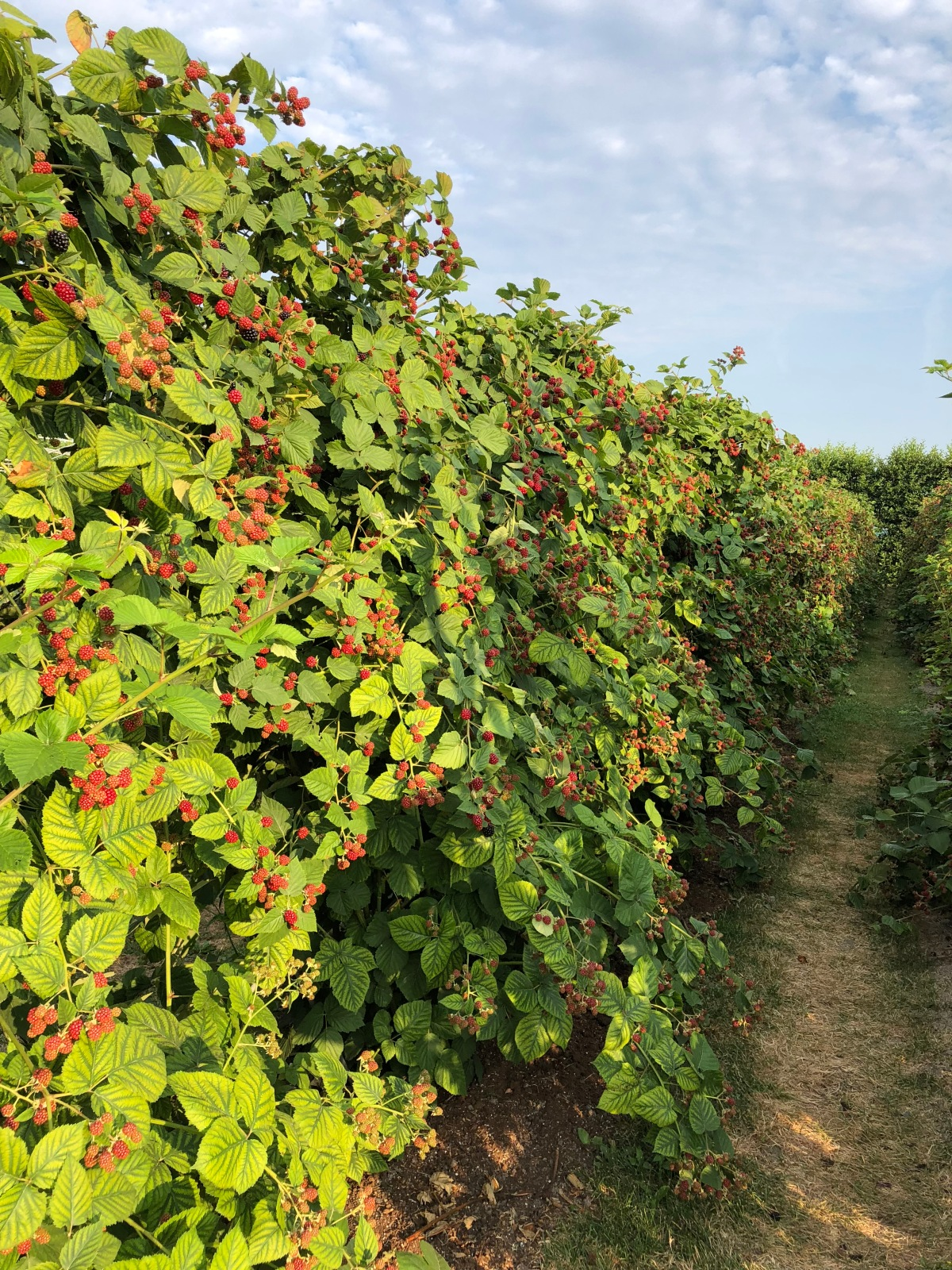 Fresh raspberries in Abbenes