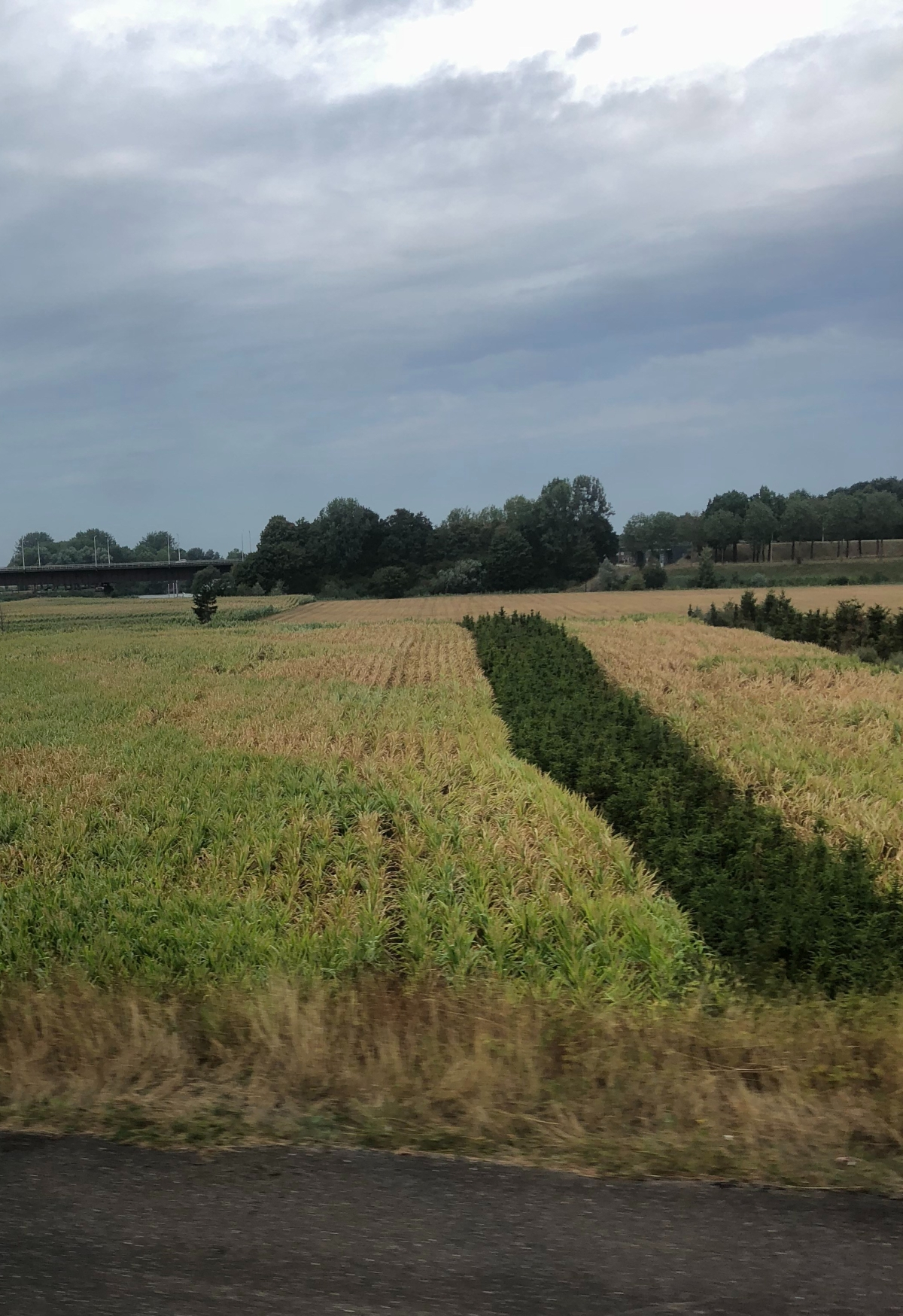 Corn field in need of water