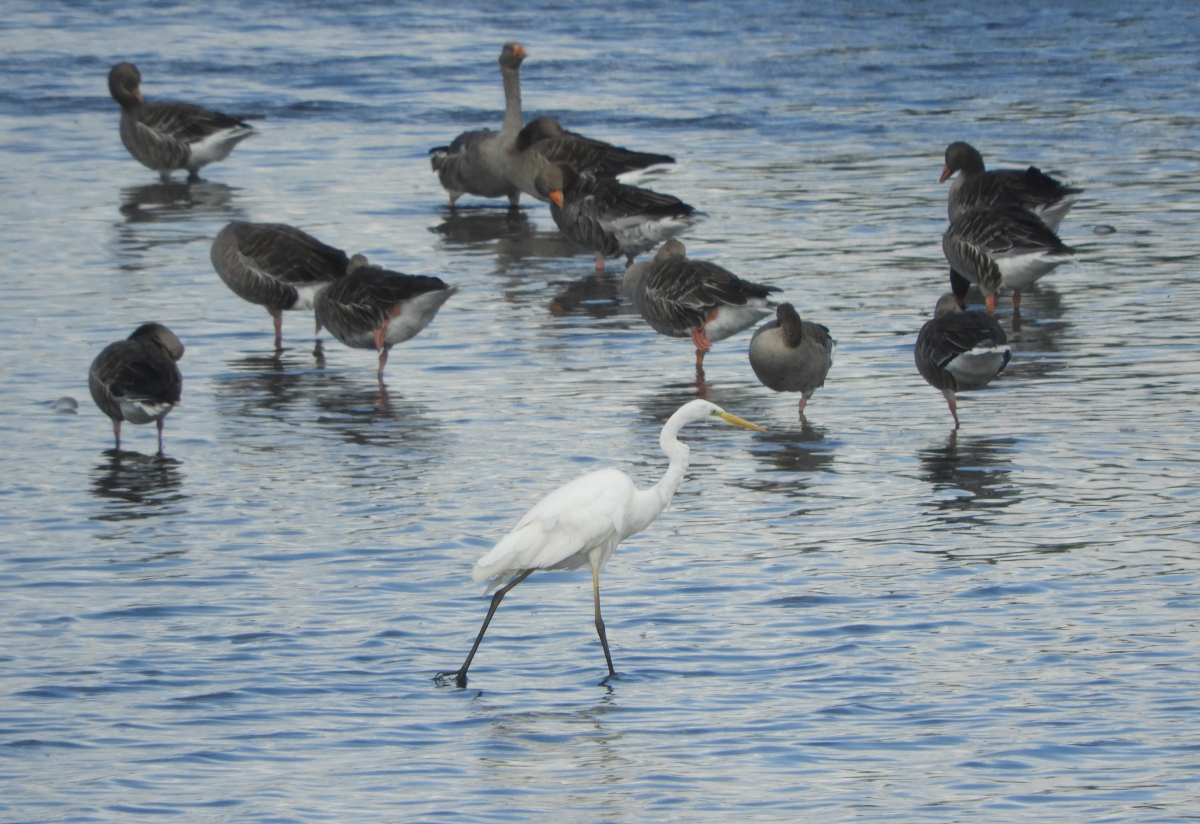 A white egret and geese in The Weerribben