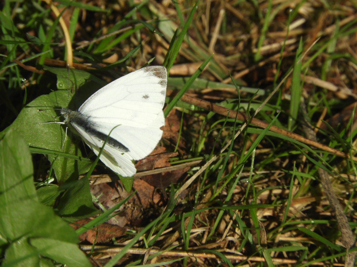White Butterfly in the Weerribben