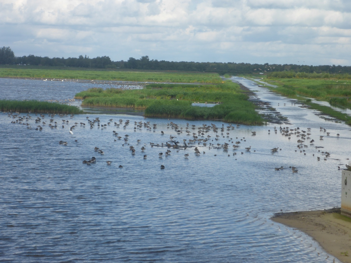 Thousands of migrating water birds at Woldlakebos
