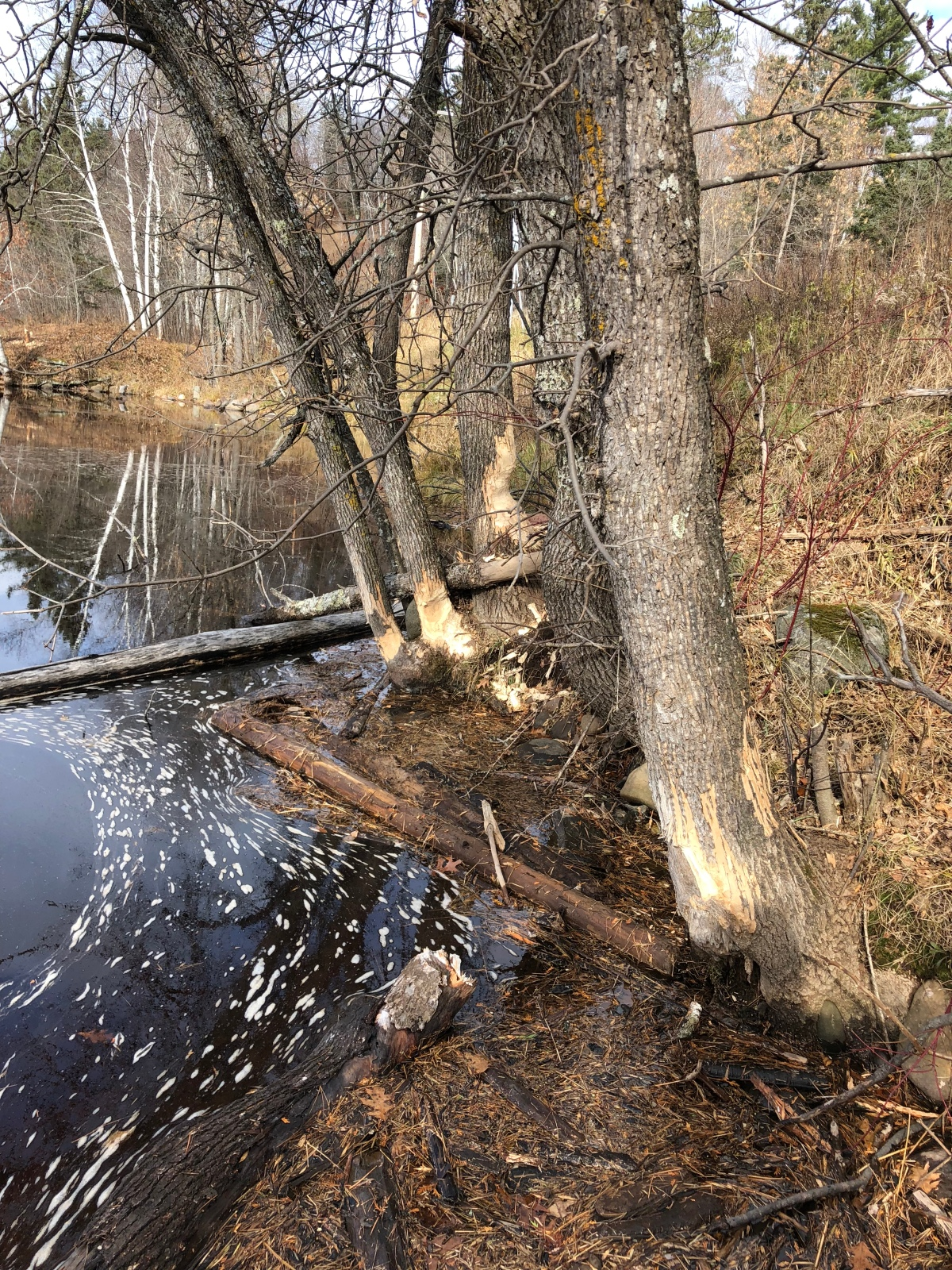 Beavers had been busy along the river trail