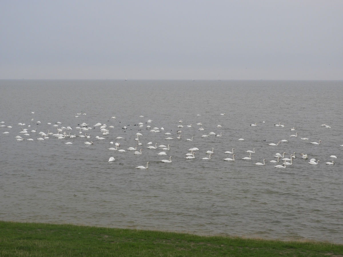 Mute Swans on the IJsselmeer