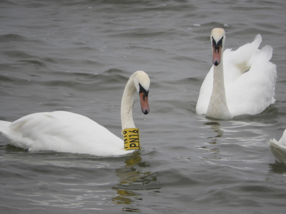 Another tagged Swan