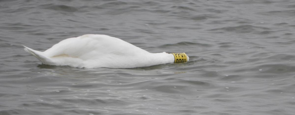 Tagged Swan