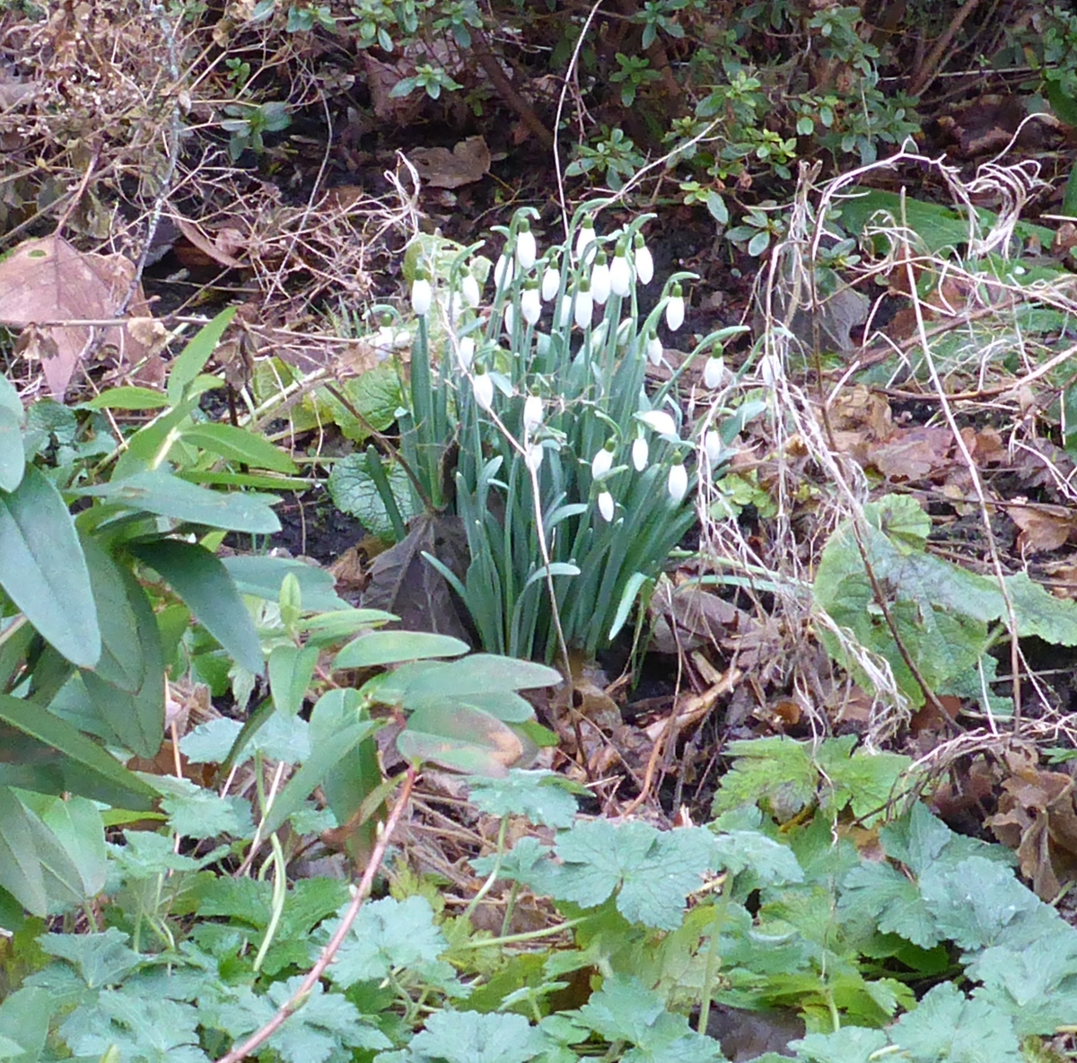 Snowdrops in a garden on our street