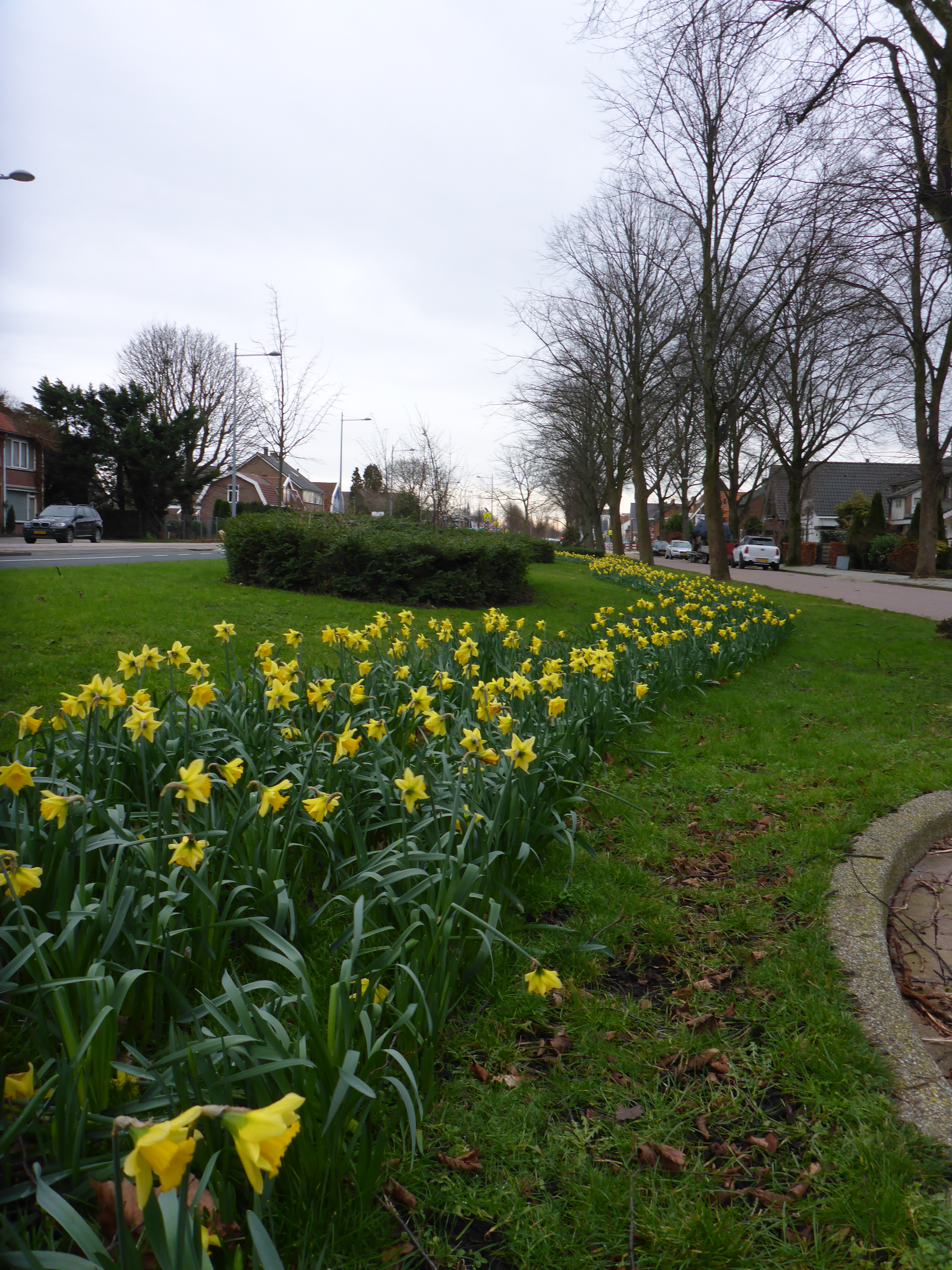 Daffodils in the center of our town waiting for the afternoon snow.