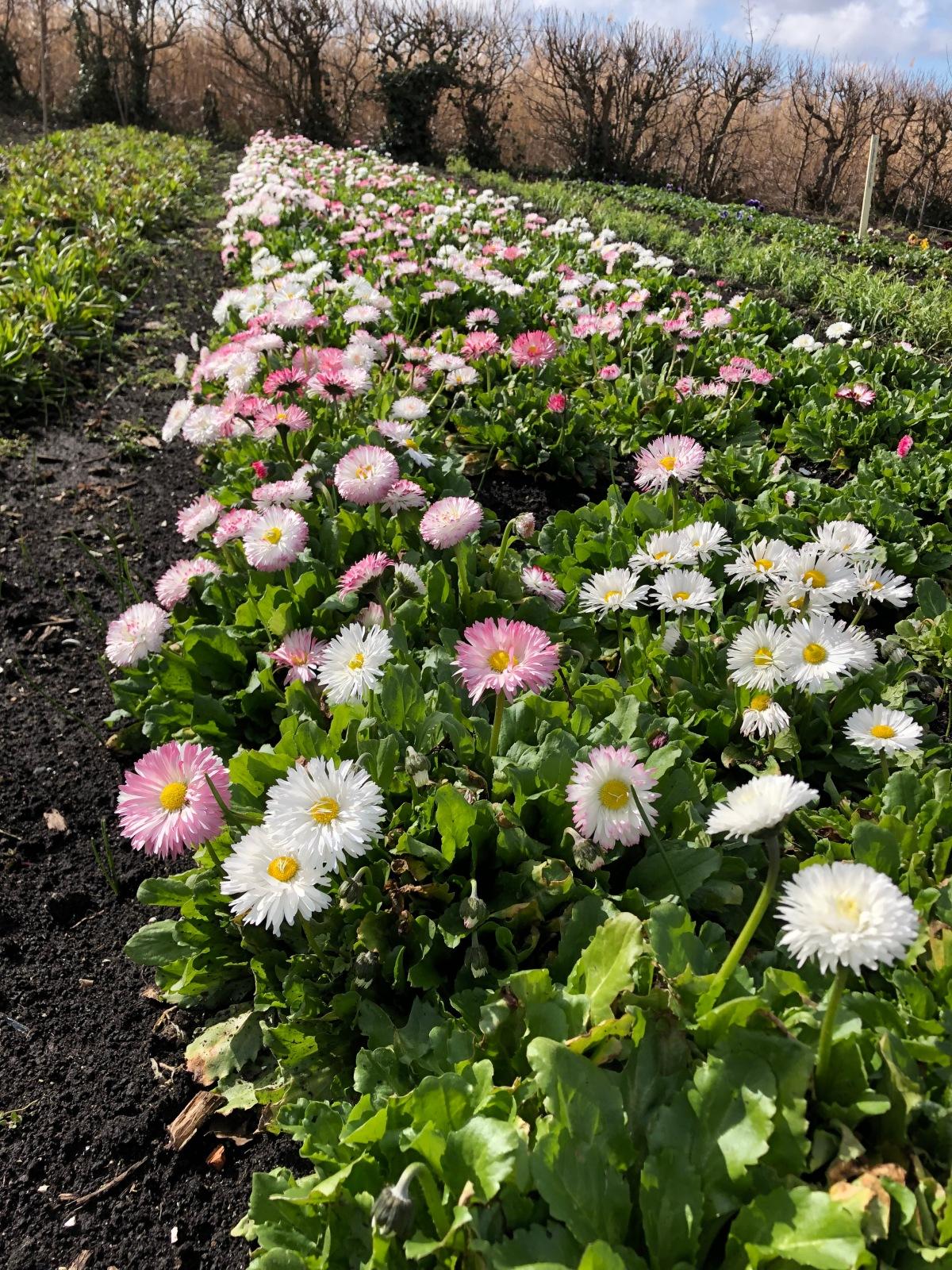 English Daisy - Bellis perennis 'Monstrusa'