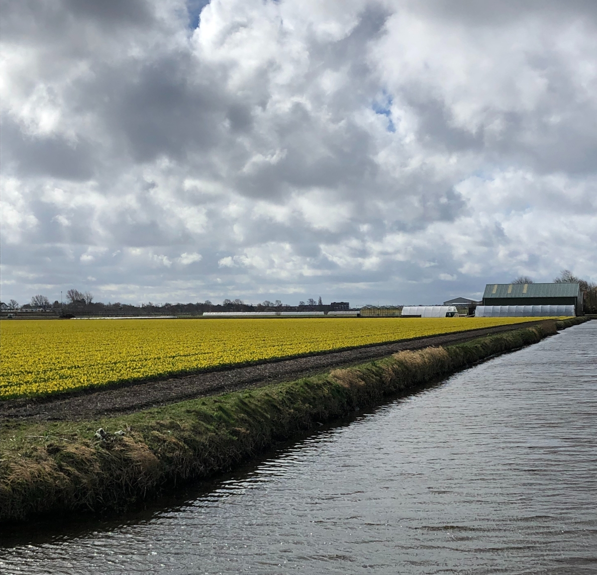 A field of Daffodils in De Zilk