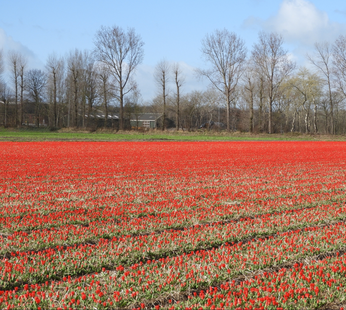 First Tulip field of the season next to the Keukenhof