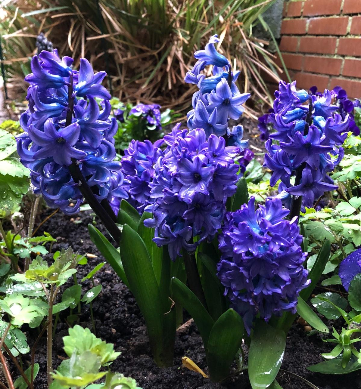 Hyacinth in my front garden