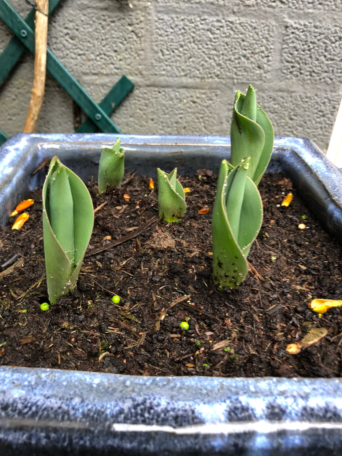 Potted tulips inching out of the soil