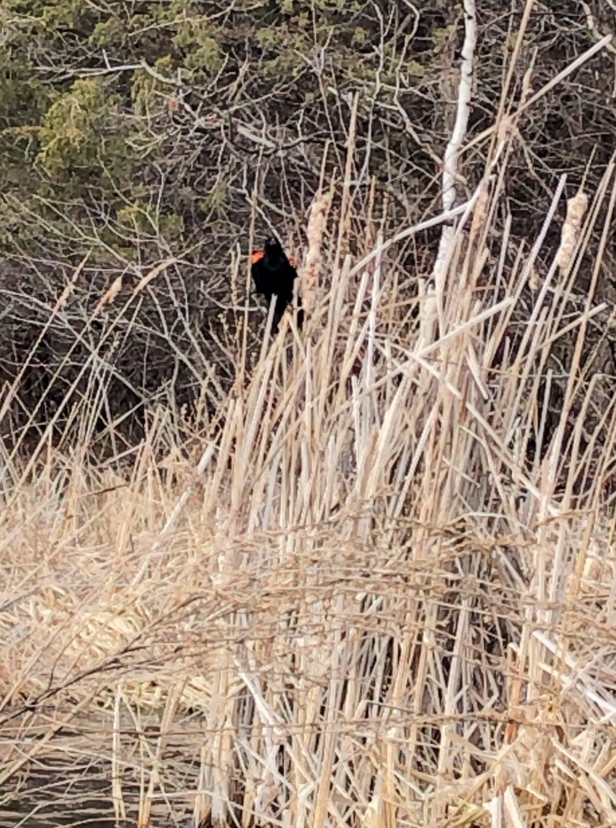 Red Wing Blackbird singing in the wind and reeds.