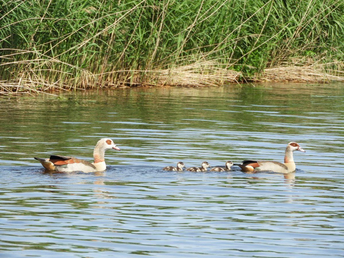 Family of Geese- Nijlgans, Alopochen aeyptiacus