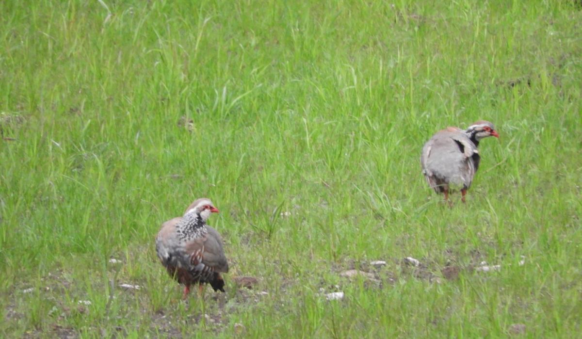 Scottish partridges