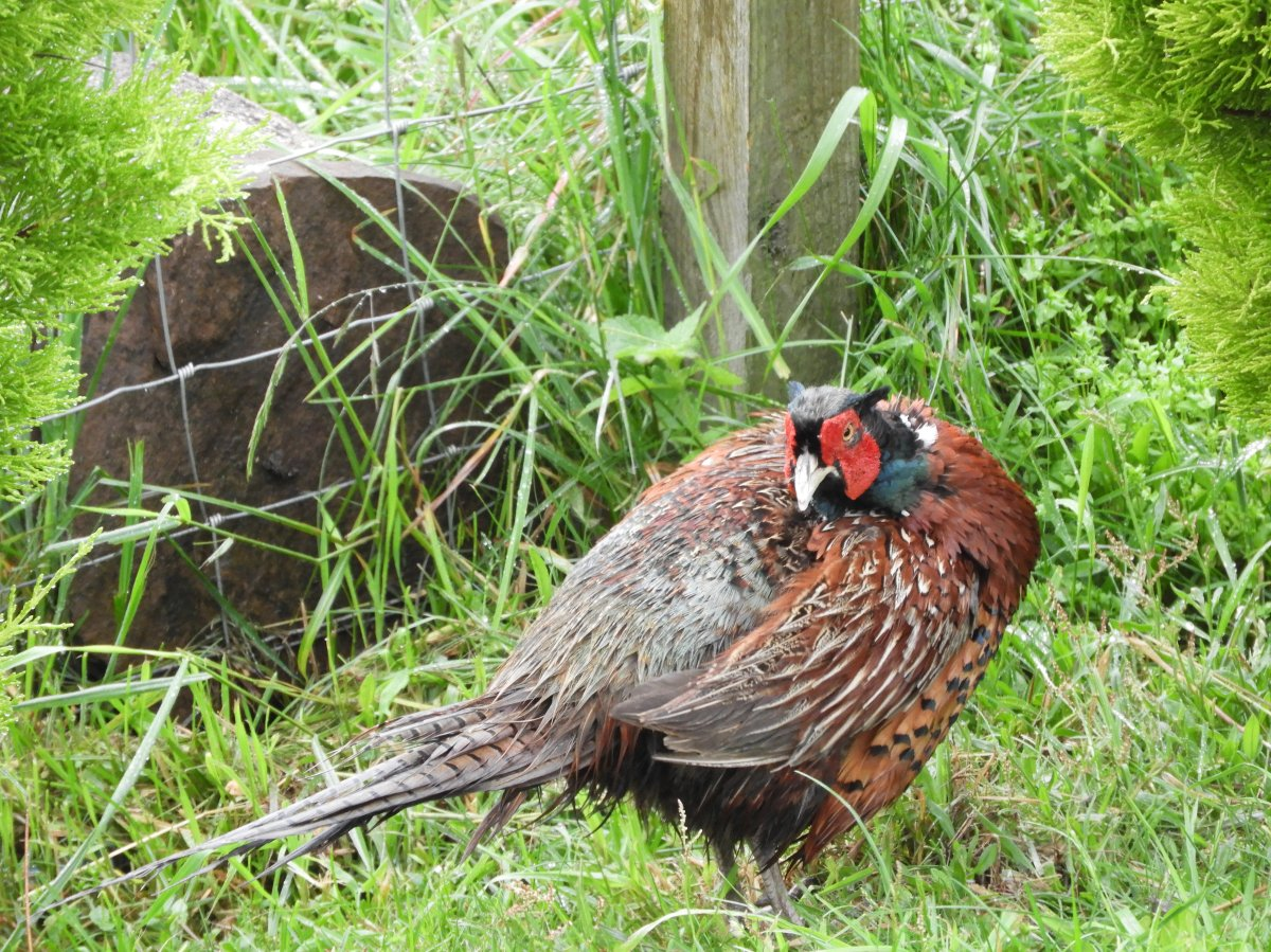 The Pheasant in a stare down with the camera
