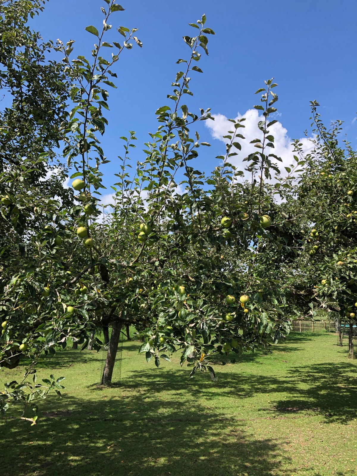 Small farm apple orchard between Woerden and Oudewater