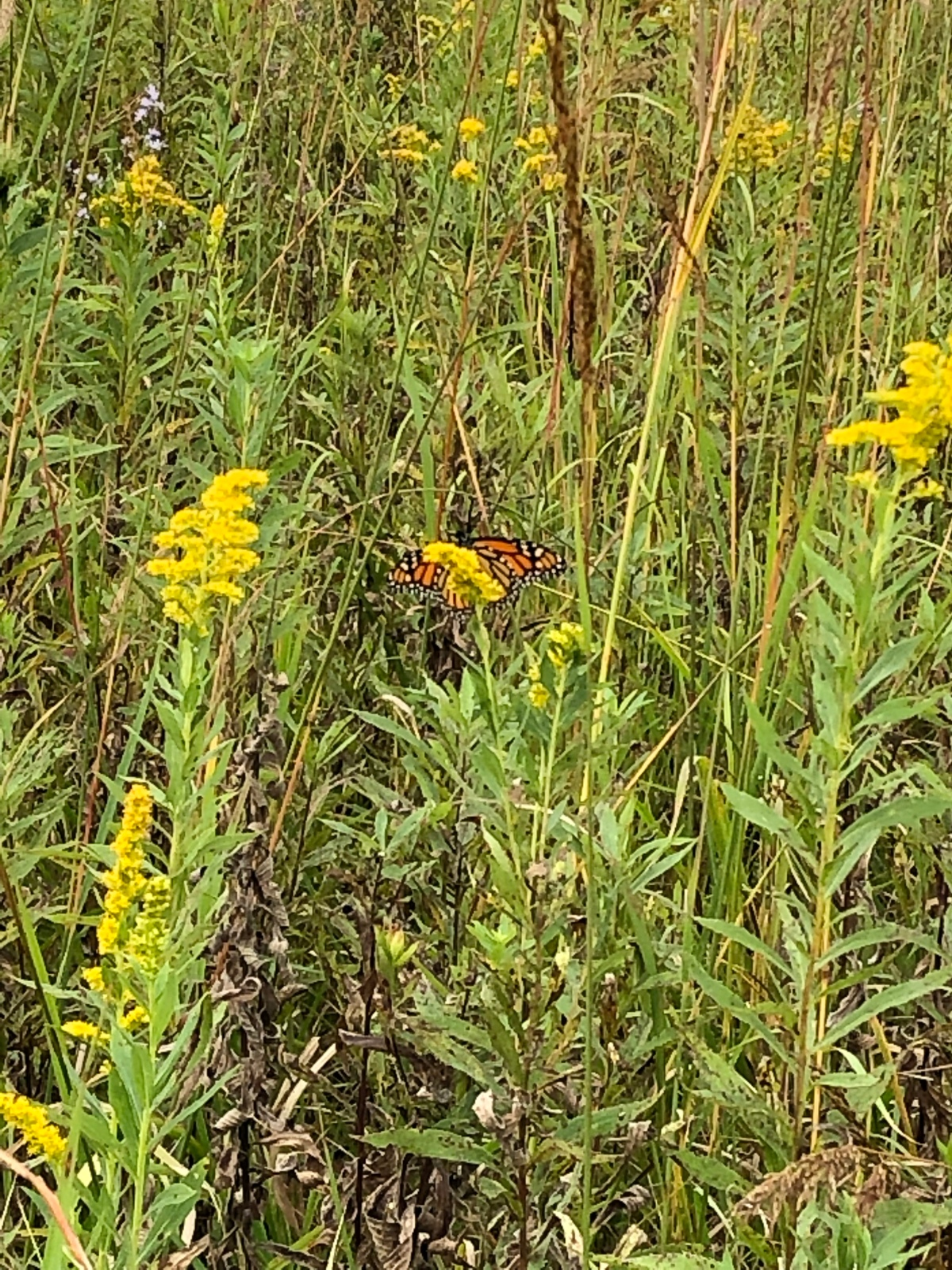 Monarch in the Afton State Park grassland