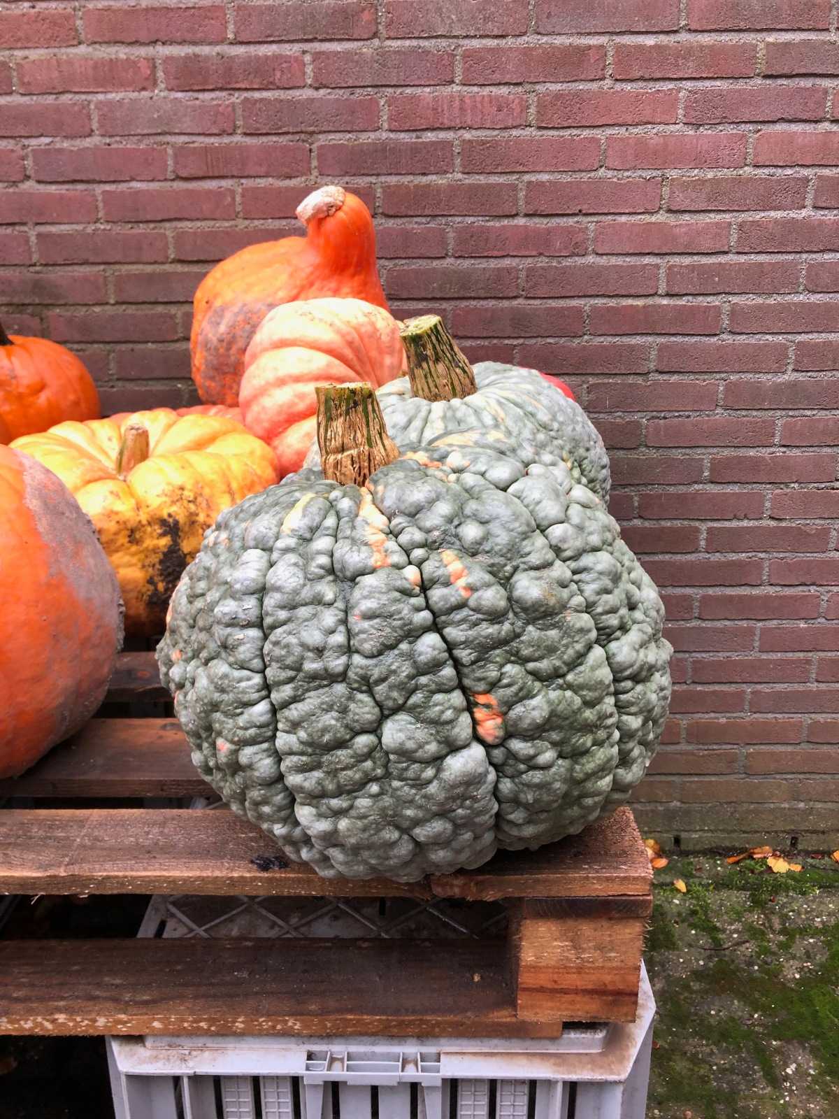 Scary pumpkins at a local Dutch pumpkin patch