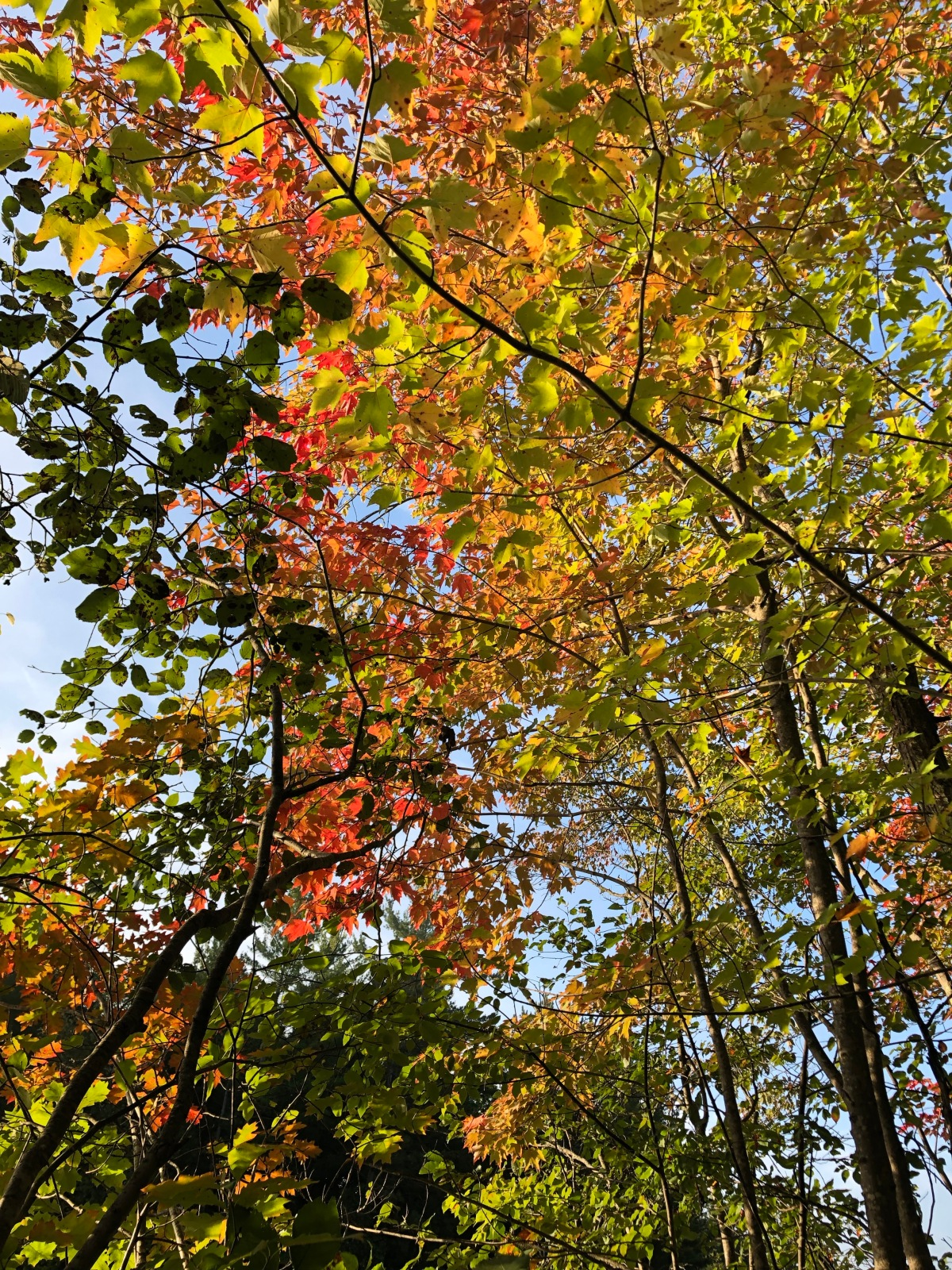 The mix of fall colors in the tree canopy