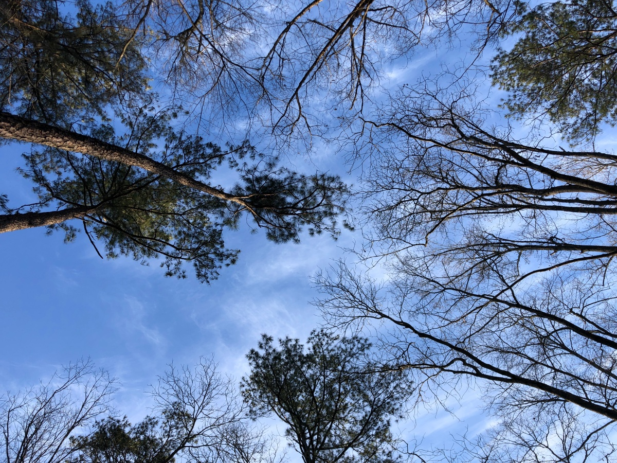 Looking up into the tree canopy. Cold but sunny.