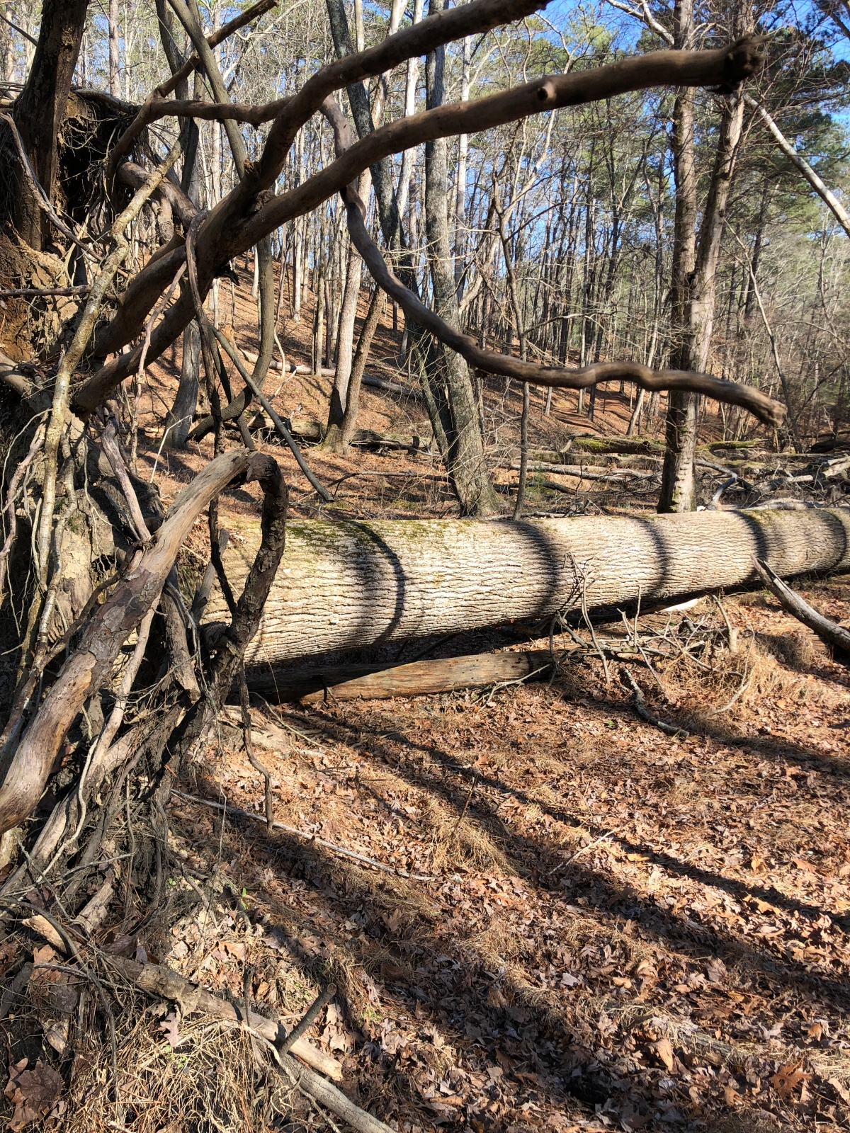 A fallen tree along the trail
