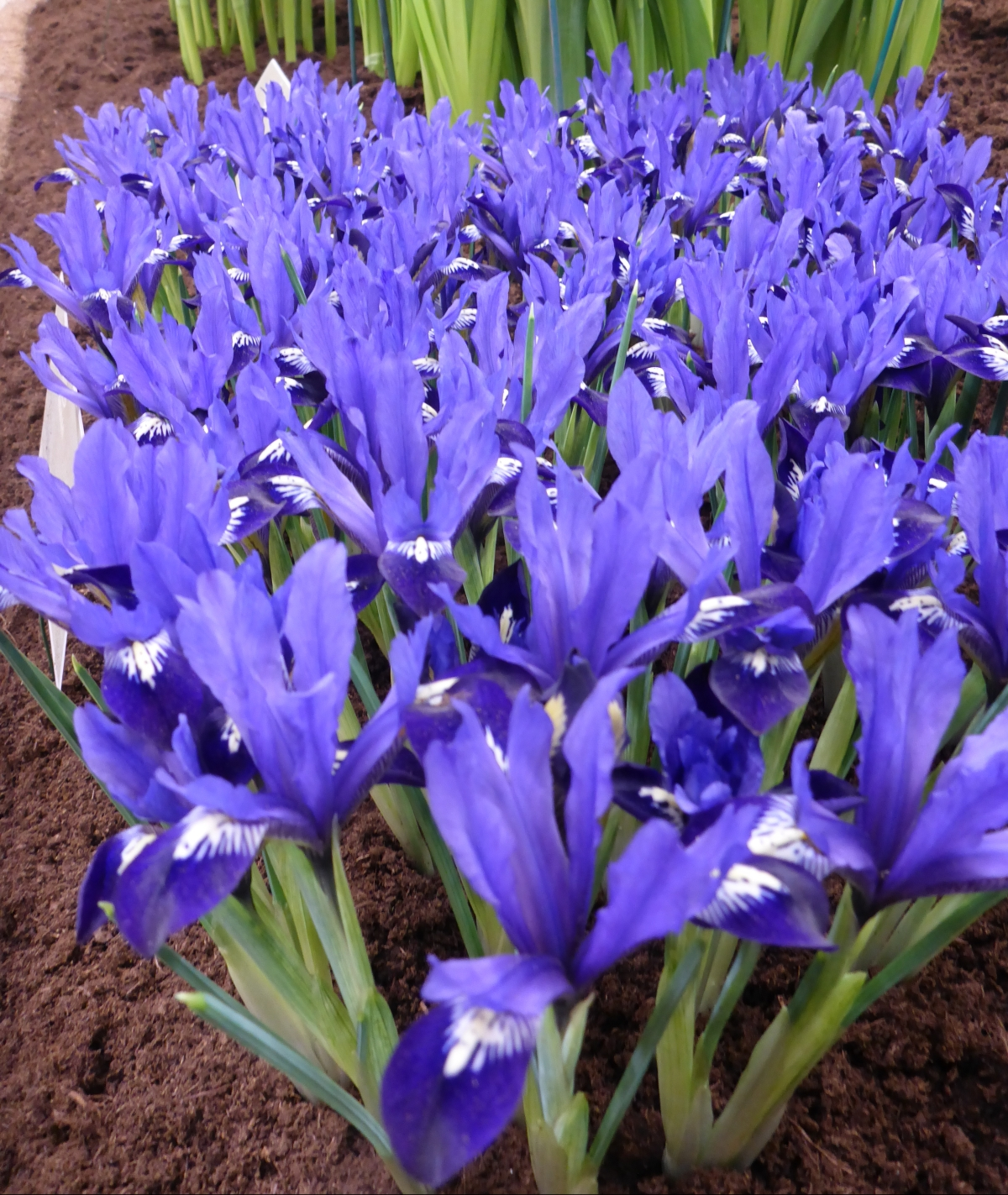 Early bloom iris