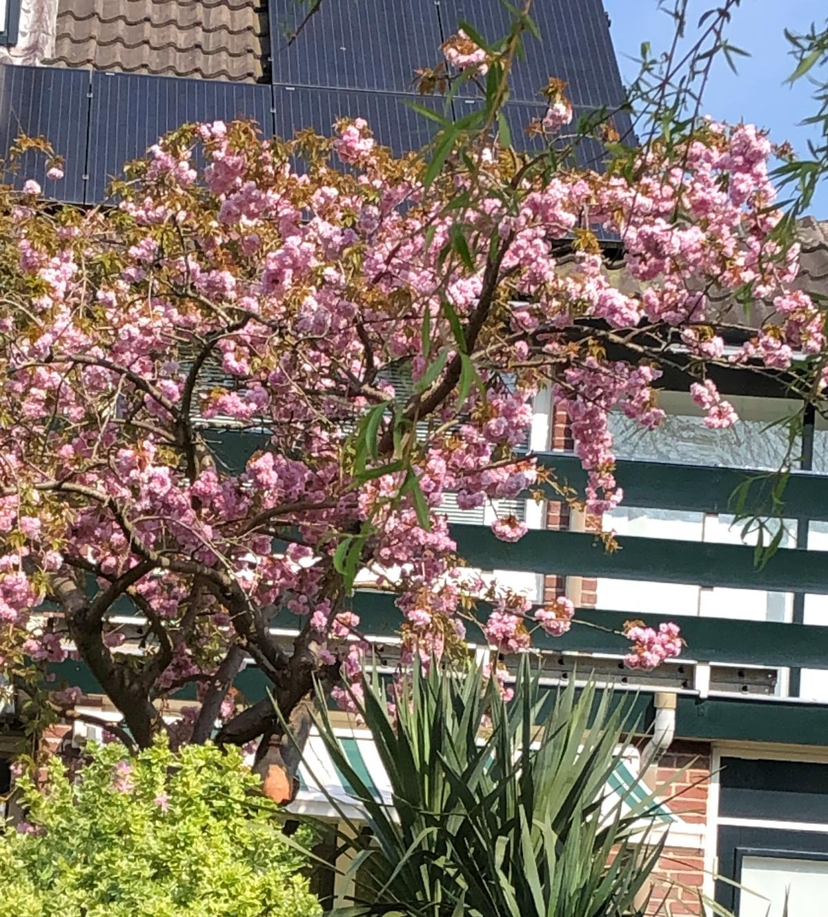 A beautiful Japanese Cherry Tree blooming in a neighborhood garden